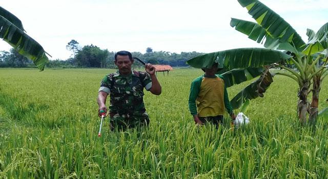 Anggota TNI membantu menyemprot padi milik warga yang terserang hama Blass.