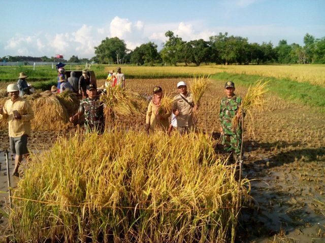 Babinsa membantu petani memanen padi di Pamekasan, Madura, Jawa Timur, Selasa (28/2/2017).