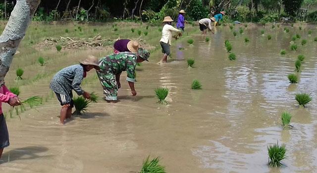 Babinsa membantu petani menanam padi dengan sistem jajar legowo di Pamekasan.