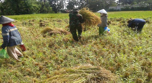Babinsa membantu petani di Pamekasan panen padi.