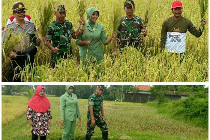 Dandim 0826 Pamekasan panen raya padi dan meninjau padi petani di Pamekasan, Sabtu (25/2/2017).